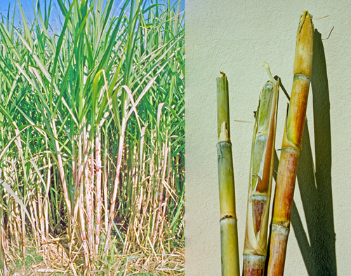 Sugar cane in Egypt